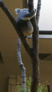 気の上で寝ているコアラ
