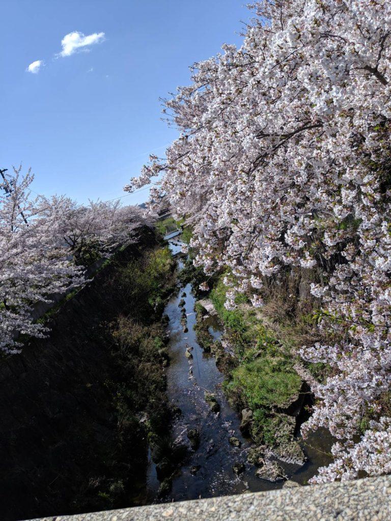 山崎川 桜